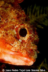 Scorpionfish (Scorpaena notata) shot using a Canon EOS 35... by Joao Pedro Tojal Loia Soares Silva 